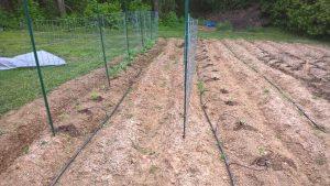 Tomato Rows April-30